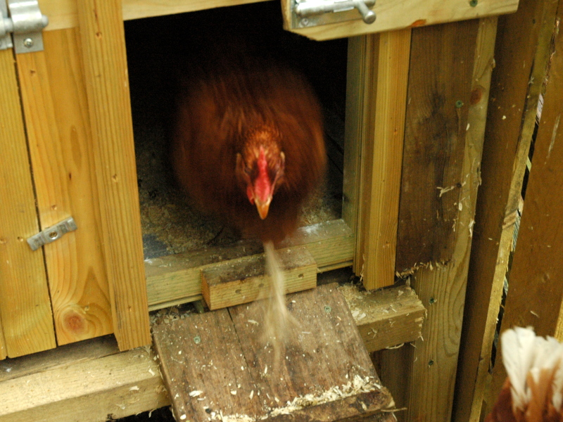 163 100 For Lie Ins To Get An Automatic Chicken Door Or Not