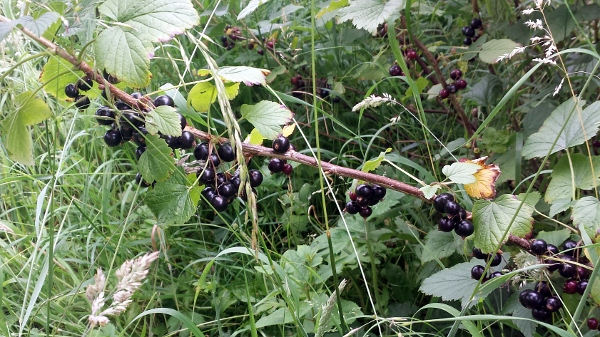 allotment-blackcurrants