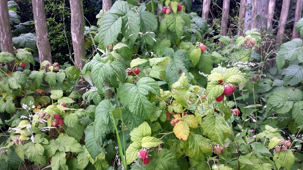 allotment-raspberries